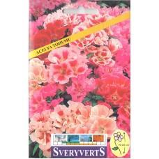 Açelya Çiçeği Tohumu - Paket
